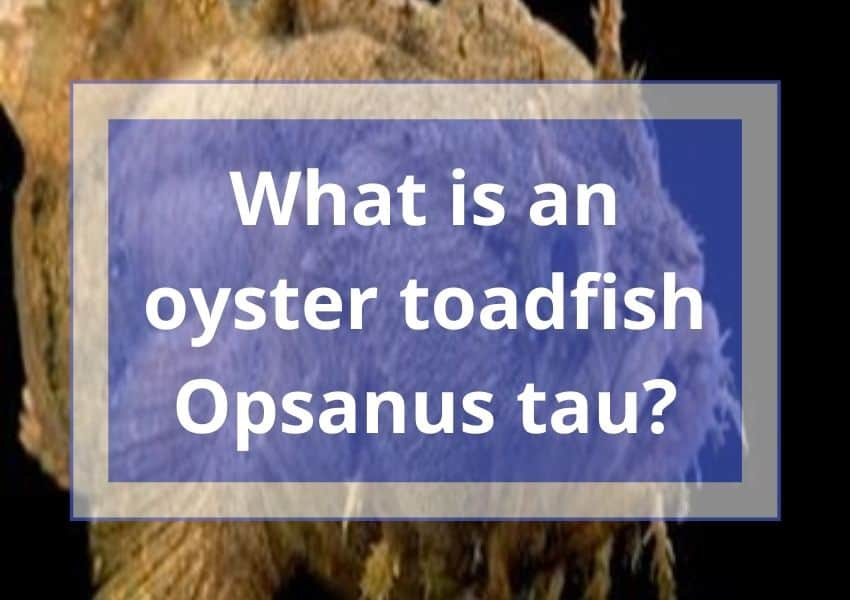 What is an oyster toadfish Opsanus tau